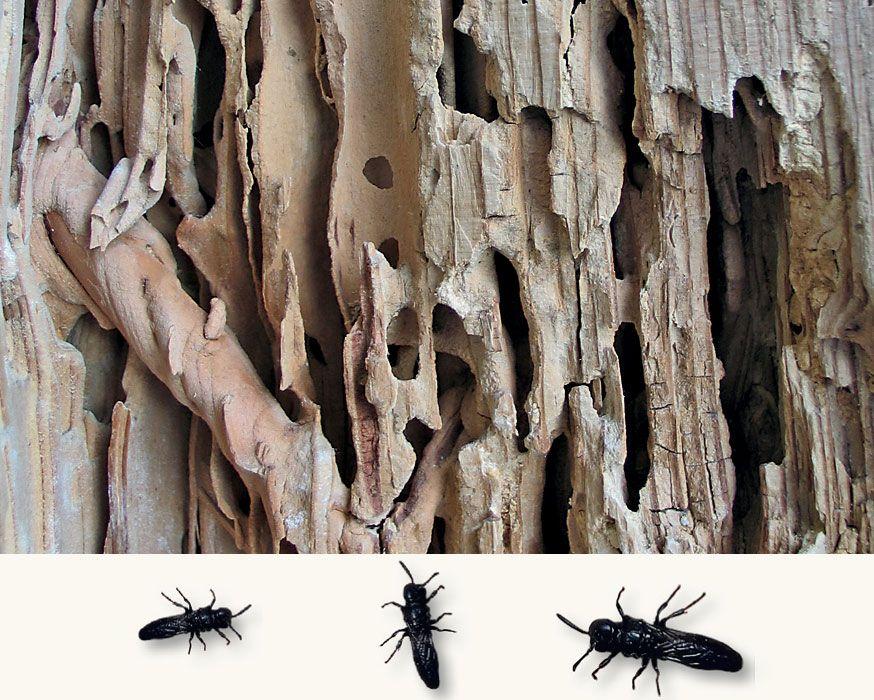 Личинки жуков-точильщиков